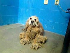 12/18/2013  in MO, St. Louis county animal care and control. In need of rescue 8 year old F #CockerSpaniel