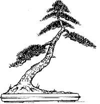 Slanting Bonsai style  Shakkan  As a result of the wind blowing in one dominant direction or when a tree grows in the shadow and must bend toward the sun, the tree will lean in one direction.