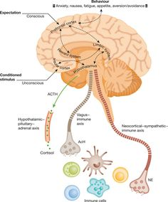 """Does this mean I am taking sugar pills for epilepsy?"" Why do we love medicines so much? Neurobiology and immunobiology of the placebo effect. (Credit: Pacheco-Lopez et al EMBO reports) Nature Publishing Group. Brain Anatomy, Anatomy And Physiology, Animal Cell Project, Doctor Of Nursing Practice, Neurological System, Brain Memory, Brain Diseases, Psychology Major, Nursing Notes"