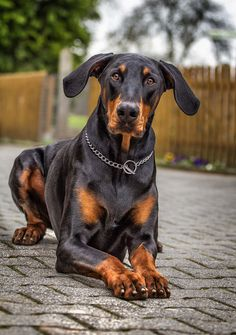 The Doberman Pinscher is among the most popular breed of dogs in the world. Known for its intelligence and loyalty, the Pinscher is both a police- favorite Doberman Pinscher Blue, Doberman Love, Dogs And Kids, Big Dogs, Dogs And Puppies, Doberman Training, Most Beautiful Dogs, Miniature Pinscher, Dog Love