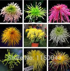 Free shipping courtyard balcony flower plant seed  many varieties of chrysanthemum flower seeds  many color mixing 200piece/lot