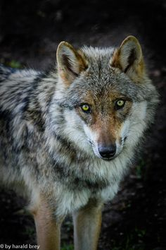 Wolf eyes by Harald Brey
