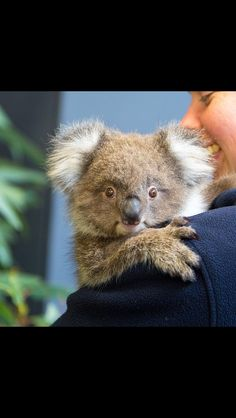 So cute Koala Bear in Australia More