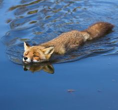 Red Fox by Angela Louwe