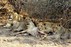 Lions at Phinda Private Game reserve South Africa