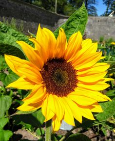 Plant of the Week 🌻  Sunflower from the genus helianthus is an easy to grow herbaceous annual native to the America continent. Mostly grown for its seed used to produce oil, all parts of the sunflower plant are both edible and highly nutritious. It's a wonderful addition to our walled garden enjoyed for its impressive stature and as a fantastic feed for birds. America Continent, Planting Sunflowers, Walled Garden, Georgian Homes, Continents, Seeds, Old Things, Oil, Easy