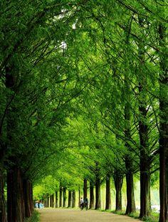 South korea beautiful Metasequoia road Damyang  한국의 아름다운길 담양의 메타세콰이어