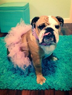 Reason # 873 why you should have a Bulldog: They are BEAUTIFUL in a pink tutu!