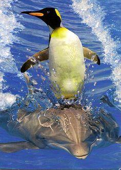 Penguin riding a dolphin so cute.
