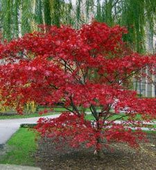 Japanese Maple trees are my favorites, so colorful and shady!