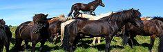 Hester Iceland, Horses, Animals, Beautiful, Ice Land, Animales, Animaux, Horse, Animal