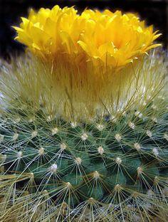 Yellow cactus flower, Mojave desert.
