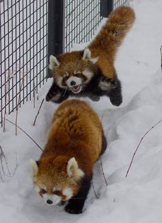 Hottest No Cost baby animals panda Concepts While our own mother and father are most likely pleased and relieved to determine people develop in addition to forget Cute Little Animals, Cute Funny Animals, Nature Animals, Animals And Pets, Photo Panda, Red Panda Cute, Pandas Playing, Tier Fotos, Fluffy Animals