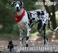 i want a great dane like this to pair up with my little black chihuahua. how freaking cute!