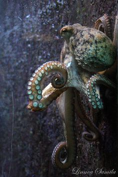 Octopus vulgaris, wouldn't this be the ultimate front door knob? Cast in copper or bronze. Love the way his tentacles could be where you grab to pull open.