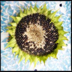 Sunflower © Astrid Vermeulen