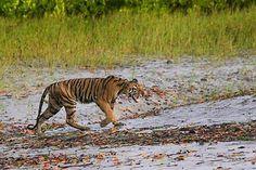 West Bengal Tourism Development Corporation - Sunderban Package Tour - Sunderban Safari by M. V. SARBAJAYA Ship