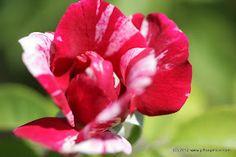 Red & Cream Hybrid Tea Rose
