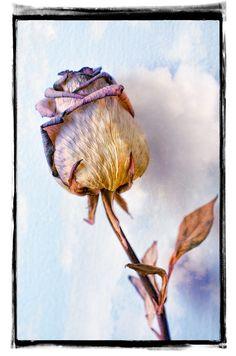Růže / Rose