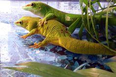 "#Phelsuma #Madagascariensis #Grandis ""Hight Red"""