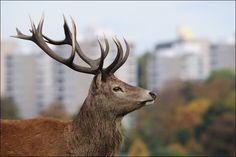 red deer - Google Search