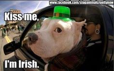 Heck yeah you go pittie Kiss me Pitty please! Dog Car, Pit Bull Love, St Paddys Day, Irish Setter, Losing A Dog, Two Year Olds, Picture Captions, Animal Quotes, Puppy Love