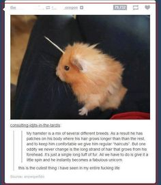Hamsters can't be a mix of several different breeds. There are no breeds of hamster. There are 5 species of hamster. Only 2 of the five species of hamster can mate together: winter whites and Campbell's dwarfs. This hamster here is a long haired Syrian. Cute Funny Animals, Funny Cute, The Funny, Hilarious, Animals And Pets, Baby Animals, Tumblr Funny, Funny Memes, Funniest Memes