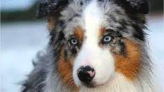 australian shepherd - Startpage Afbeelding Zoek