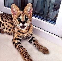 Bengal Cat Gallery - Cat's Nine Lives Cute Kittens, Cats And Kittens, Animals And Pets, Baby Animals, Funny Animals, Cute Animals, Beautiful Cats, Animals Beautiful, Serval Cats