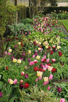 Tulip Purissima, Tulip Exotic Emperor, Tulip White Elegance, Tulip Jan Reus, Tulip Candy Prince, Tulip Blue Ribbon, Tulip Pacific Pearl