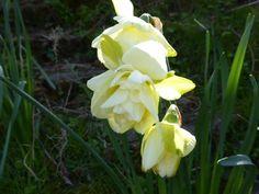 Lovely scented daffs Spring Flowering Bulbs, Spring Bulbs, Garden, Plants, Color, Garten, Lawn And Garden, Colour, Gardens