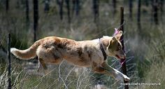 Lacey Australian koolie Pets, Photography, Animals, Photograph, Animales, Animaux, Fotografie, Photoshoot, Animal