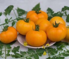 Желтые томаты - одни из самых интересных и удивительных в своем роде. Томат Сюрприз желтый