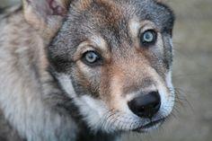 Raven - Saarloos Wolfdog Saarloos, Discus Fish, Wolfdog, Werewolf, Wolves, Raven, Puppies, Artist, Animals