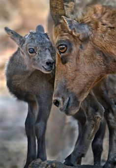 Bighorn Sheep and Calf by Stinkersmell - Ion Moe
