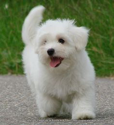 What a sweetpea! From France, Castel de la Roche aux Fées. Trying to be patient waiting for my puppy! Animals And Pets, Funny Animals, Cute Animals, Baby Dogs, Pet Dogs, Doggies, Bichon Dog, Havanese, Labradoodle