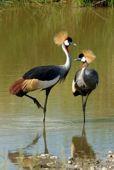 Grey Crowned Crane  - seen in Tanzania/ Africa..  We were lucky to see them when we were in Tanzania, Africa last June.
