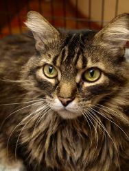 Blitz is an adoptable Domestic Medium Hair Cat in Appleton, WI. Blitz was transferred to the shelter from another shelter. He is a friendly cat who has a great, big, beautiful, fluffy coat. Blitz requ...