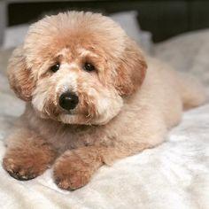 25 Dogs Look Like Teddy Bears – Teddy Bear Dogs Bichon Poodle Mix, Teddy Bear Poodle, Teddy Bear Puppies, Cockapoo Puppies, Cute Baby Dogs, Cute Little Puppies, Cute Puppies, Cutest Dogs, Bear Dog Breed