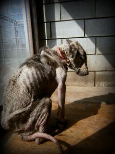 Their explanation was simple and cruel ;    The factory was shutting down. They could no longer care for ''her '' , the shapeless shadow that they needed get rid of. She was a dog , a dog that they kept in their factory yard for 4 years , tied to a kennel there at the corner of their yard , a guard dog as they call it.  This is Rosalie as are the other 2 photos.