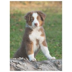 Cute Australian Shepherd Puppy comfortable Fleece Blanket #dog #dogs #doglover #doggifts