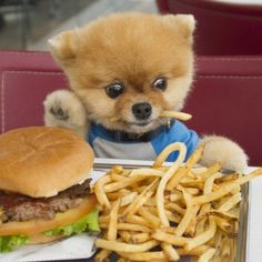 Pick: Funny Burger Dog Of The Day Jiff und seine Burger und Pommes (Bild via Pics Door) Cute Little Animals, Cute Funny Animals, Funny Dogs, Cute Dogs And Puppies, I Love Dogs, Doggies, Cutest Dogs, Baby Puppies, Burger Dogs