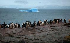 espacoonline.com   Pinguins-de-adélia driblam o aquecimento global