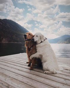 Astonishing Everything You Ever Wanted to Know about Golden Retrievers Ideas. Glorious Everything You Ever Wanted to Know about Golden Retrievers Ideas. Animals And Pets, Baby Animals, Funny Animals, Cute Animals, Funny Dogs, 9gag Funny, Nature Animals, Funny Humor, Two Dogs