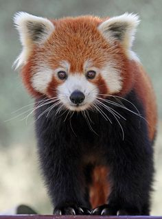 Red Panda at the Colchester Zoo. NOT a stuffie, but too cute not to pin in this board. Red Panda Cute, Panda Love, Panda Bear, Animals And Pets, Baby Animals, Cute Animals, Primates, Mammals, Colchester Zoo