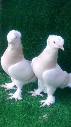 Paloma volteadora del caucaso Pigeon Pictures, Animal Pictures, Pretty Birds, Beautiful Birds, Tumbler Pigeons, Cute Pigeon, Pigeon Cage, Rabbit Diet, Pigeon Breeds