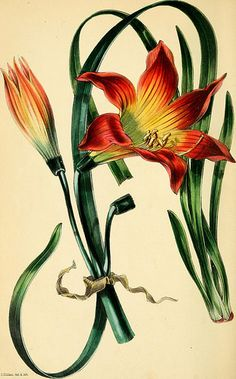 """page 179 of """"Paxton's Magazine of Botany and Register of Flowering Plants"""" (1842)"""