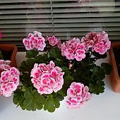 Osemvrstvové croissanty so šunkou (fotorecept) - recept Pavlova, Floral Wreath, Floral Crown, Flower Crowns, Flower Band, Garland