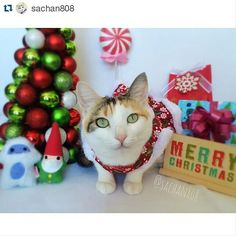 Most adorable holiday cheer! #misohandmadekitty #misohandmade #catnipgnome #catnipyeti #catniptoys #Repost @sachan808 with @repostapp  Meowy Christmas! Mele Kalikimaka! メリークリスマス! We hope that your day is filled with lots of fun and love! Thank you all for the lovely holiday cards! We  them all! We appreciate all the friendships we formed here on IG! Thank you Auntie @mermaidkitty808 for the #MisoHandmade catnip toys! #IchigoFiore and gang are nipped out!