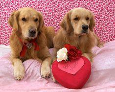 Golden Retriever Valentines Day Puppy Dog Dogs Puppies